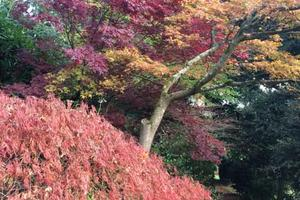 Acers in the Dell in Sharpham's gardens, by Jacqui Hallum, November 2016