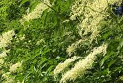 Foraging - Nettle Hummus & Elderflower Tea