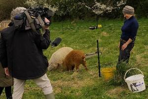 An ITV crew interviews regenerative agriculturalist Nick Viney about 'renting' her pigs to Sharpham