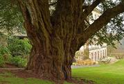 Our yew tree on show online