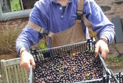 Blackcurrant harvest