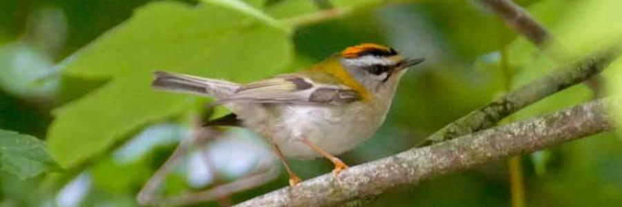 Firecrests are here!
