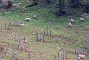 Sheep in Sharpham's orchards