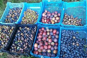 Our plum and damson produce
