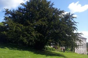 The yew tree at Sharpham - estimated to be more than 400 years old